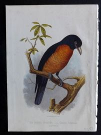 Jones & Cassell 1869 Antique Bird Print. Oronoko Coracina